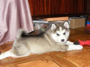 Аляскинский маламут щенок 1 месяц