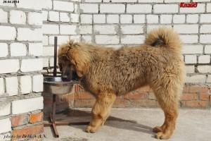 Красный тибетский мастиф фото