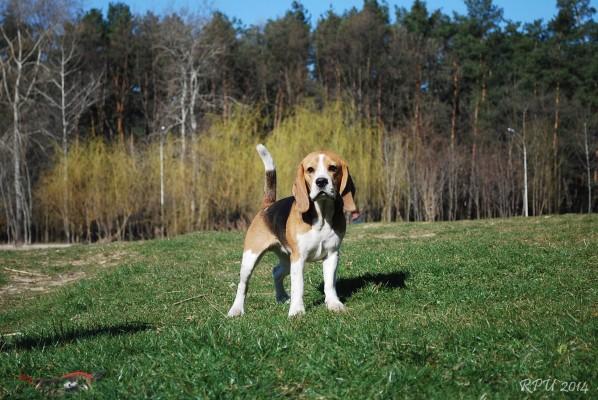 Охотничья собака бигль фото