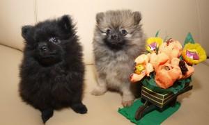 Померанский шпиц щенки фото