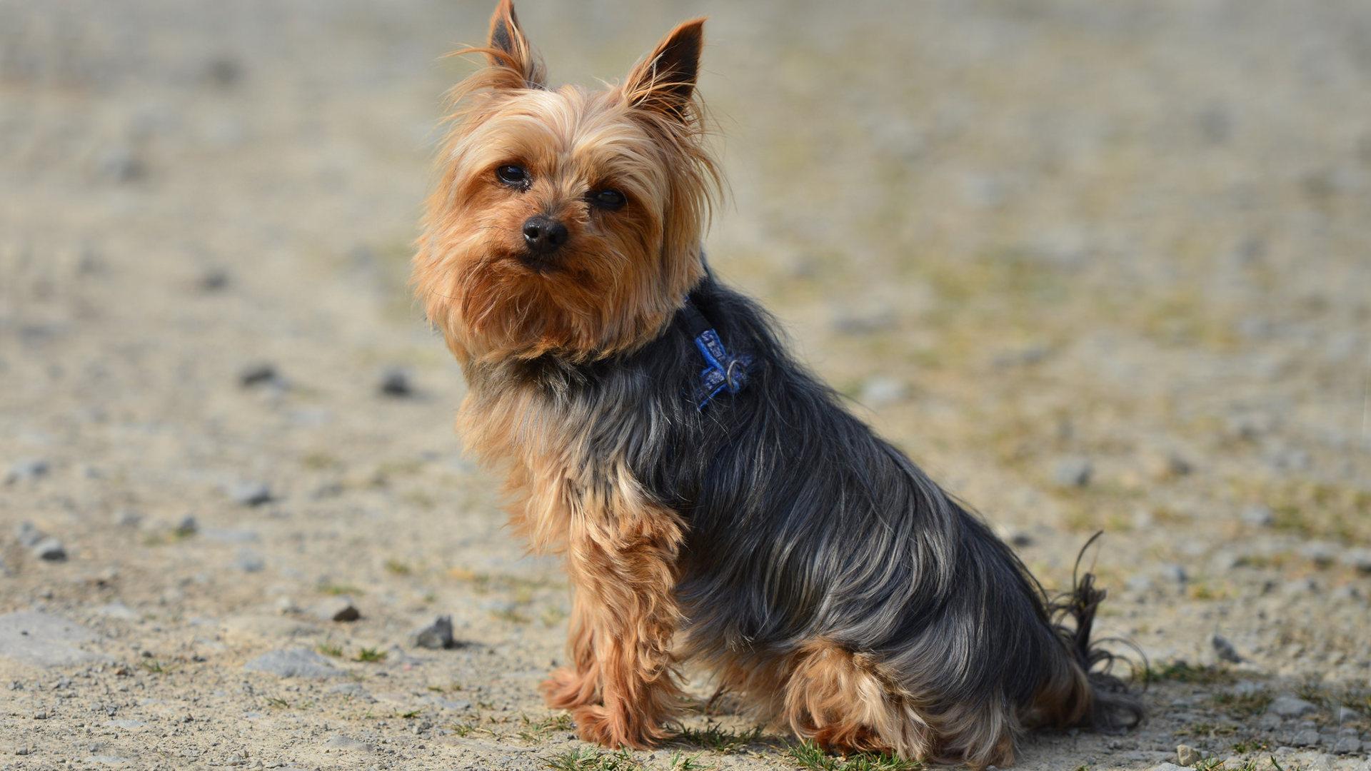 Pictures of yorkie terrier mix Beauty Professor: 2018