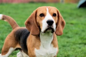 Порода собак бигль фото