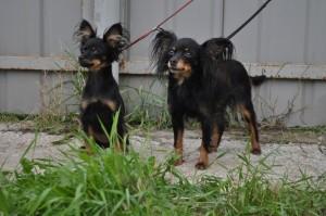 Порода собак русский той фото