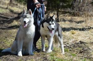 Порода собак сибирская хаски