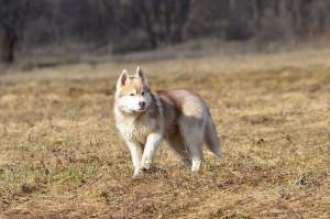 Сибирская лайка хаски фото