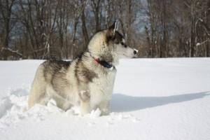 Сибирская хаски фото и цена