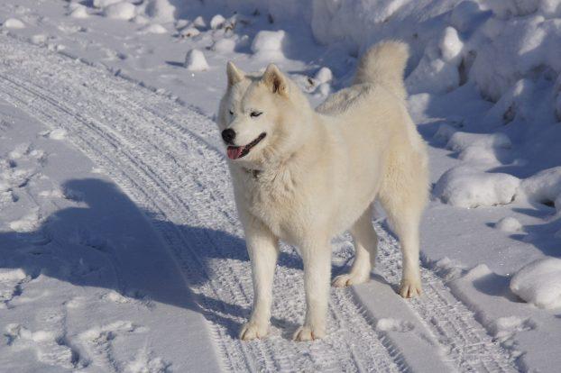 Сибирский хаски белого окраса