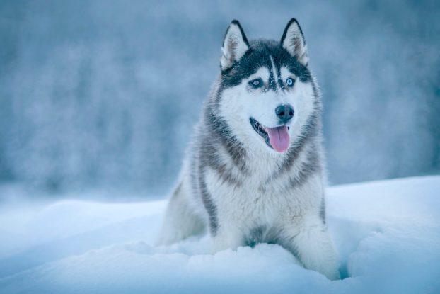 Сибирский хаски - фото породы