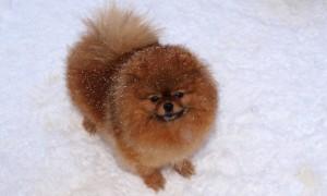 Собака породы померанский шпиц фото