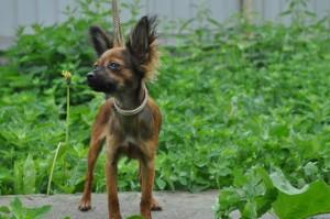 Собака русский той терьер фото