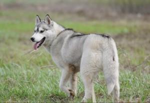 Собака сибирская хаски фото