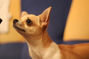 Собака чихуахуа гладкошерстная фото
