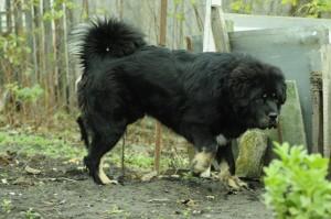 Тибетский мастиф фото собаки