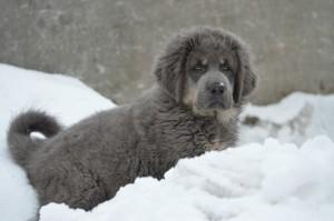 Тибетский мастиф цена щенков фото