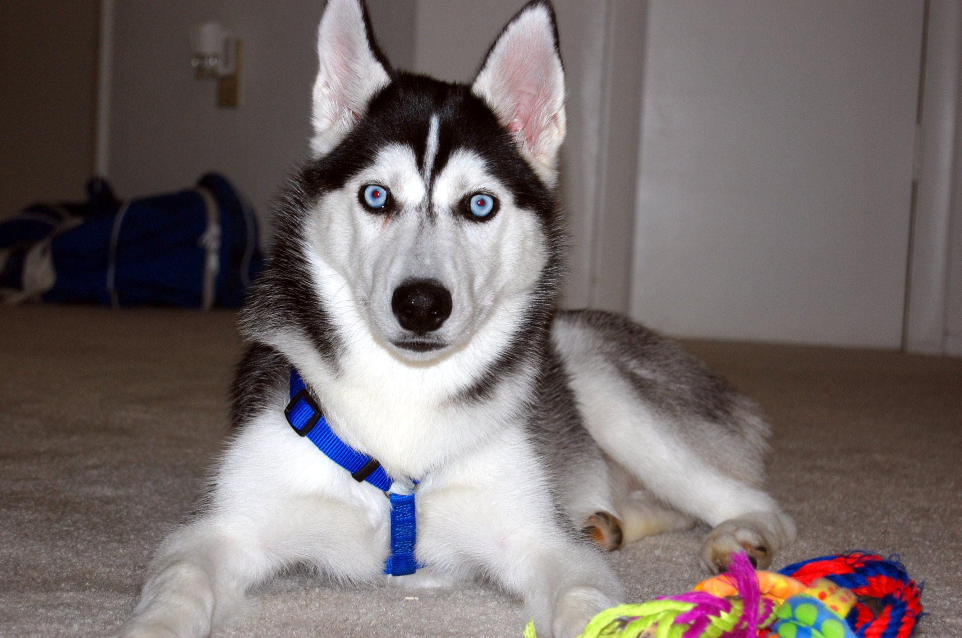 Сибирские хаски – красивые фото собак породы Сибирская хаски ... | 1273x1920
