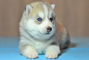 Фото сибирской хаски с голубыми глазами