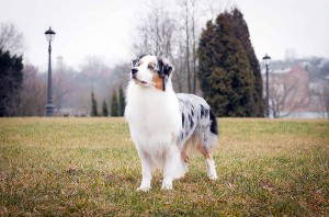 Фото собаки австралийская овчарка