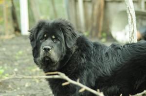 Фото собаки тибетский мастиф