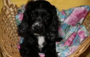 Фото щенка английский кокер спаниель