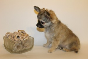 Фото щенка чихуахуа