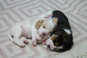 Фото щенков породы бигль