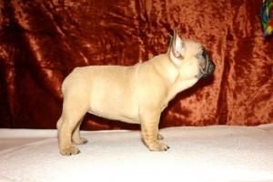 Французский бульдог фото щенка