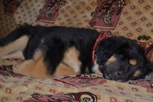 Чем кормить щенка тибетского мастифа фото