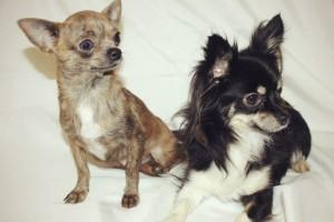 Чихуахуа длинношерстные фото взрослых собак