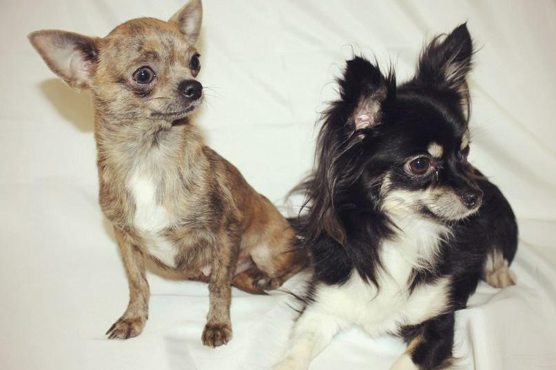 фото собак взрослых чихуахуа