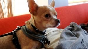 Чихуахуа собачка фото