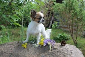 Чихуахуа фото взрослой собачки