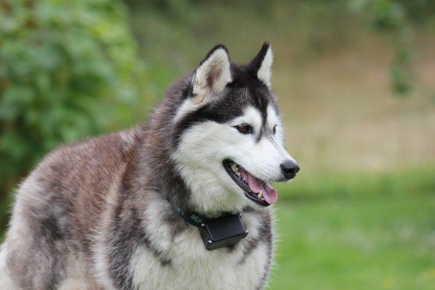 Фото собаки породы сибирская хаски