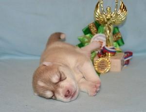 Маленький палевый щенок хаски фото