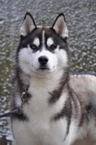 Сибирская хаски фото