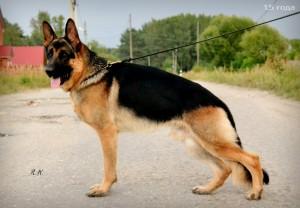 Собака немецкая овчарка фото