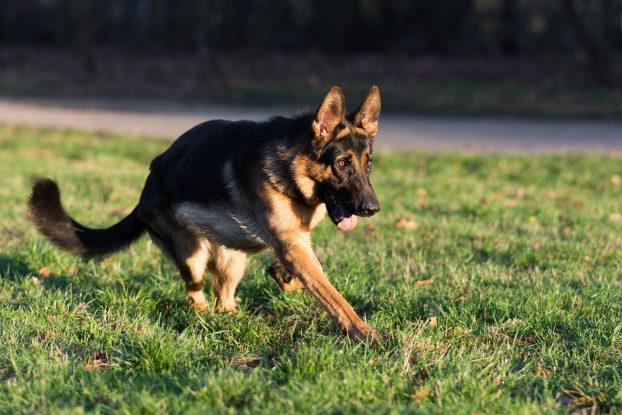 Фото собаки немецкая овчарка