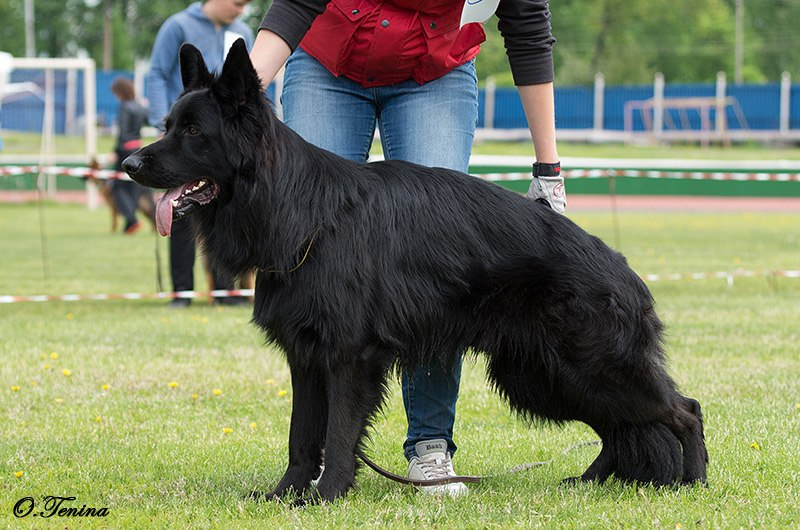 немецкая овчарка чёрного окраса фото