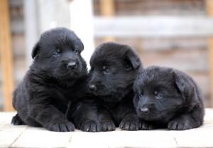 щенки черной немецкой овчарки