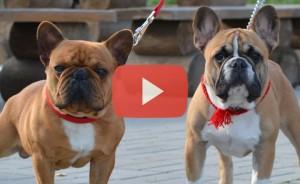 Видео про французских бульдогов