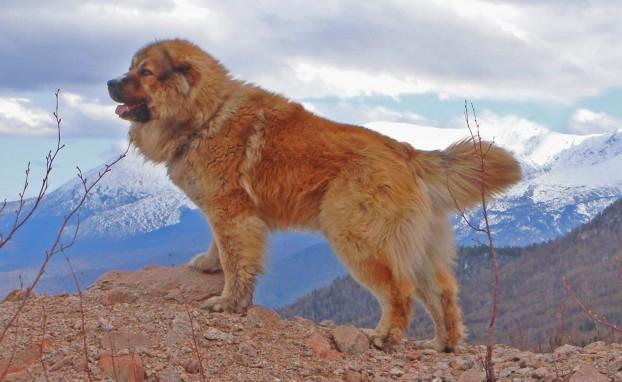 Крупные породы собаки - Кавказская овчарка
