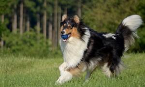 Крупные породы собак для квартиры - Колли