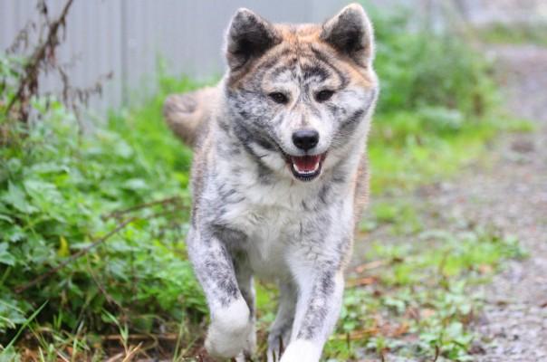 Крупные собаки - порода Акита-ину