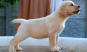 Лабрадор ретривер палевый фото щенка