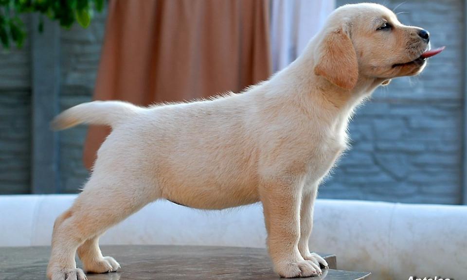 лабрадор-ретривер фото щенки