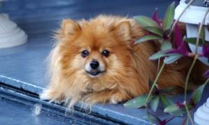 Маленькие породы собак для квартиры - померанский шпиц