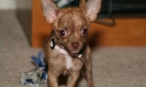 Маленькие породы собак для квартиры - чихуахуа