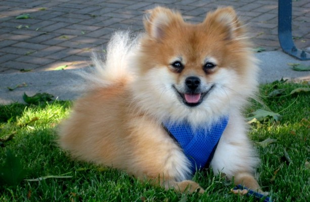 порода маленьких собак фото с названиями шпиц