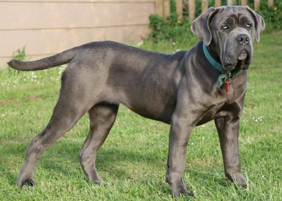 Очень крупные породы собак - Неаполитанский мастиф