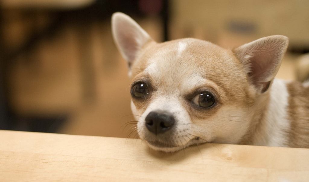 маленькие комнатные собаки породы название с фото