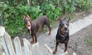 Порода собак доберман фото